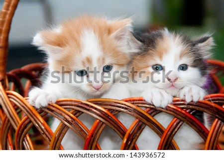 Two three-colored kittens sitting in the basket - stock photo