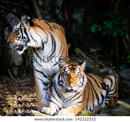 Tiger in the jungle stock photos royalty free images amp vectors