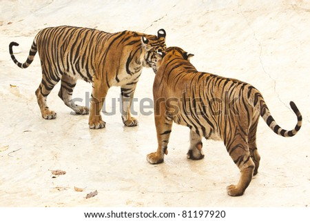 Two tiger in the zoo - stock photo