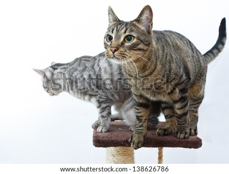 Two tiger (tabby) cat on the top f the scratching post platform - stock photo