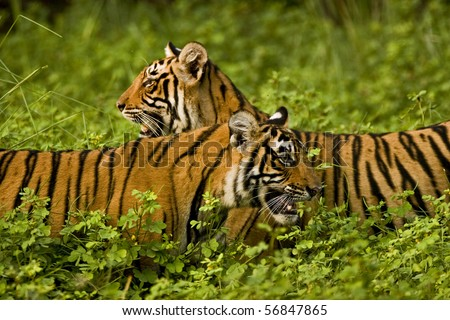 Two tigers in green bushes of Ranthambhore after the monsoon rains - stock photo