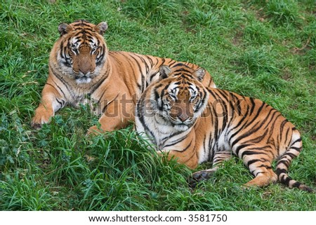 Two tigers lie down in the ground