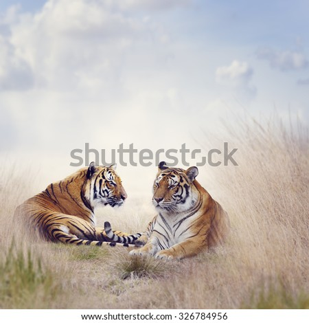 Two Tigers Resting in a Tall Grass - stock photo
