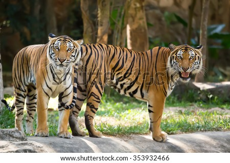 Two tigers staring with ferocious eyes.