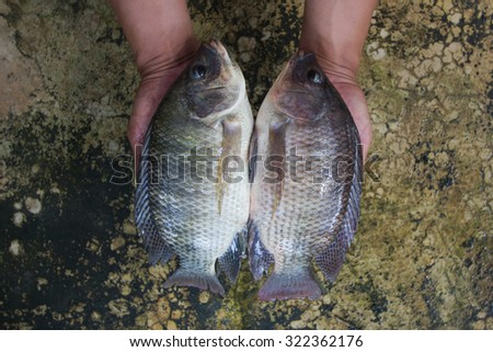 Two tilapias (Oreochromis niloticus) in hand soft focus - stock photo
