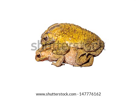 Two toads during the breeding isolated on white background - stock photo