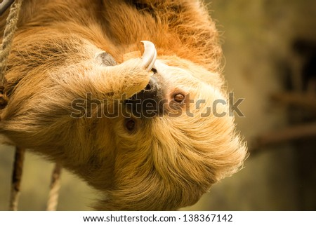 Two-Toed Sloth eating at the Omaha Zoo - stock photo