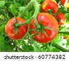 Two Tomatoes Growing on the Vine in Garden - stock photo