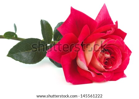 two-tone pink and yellow rose isolated on white background - stock photo