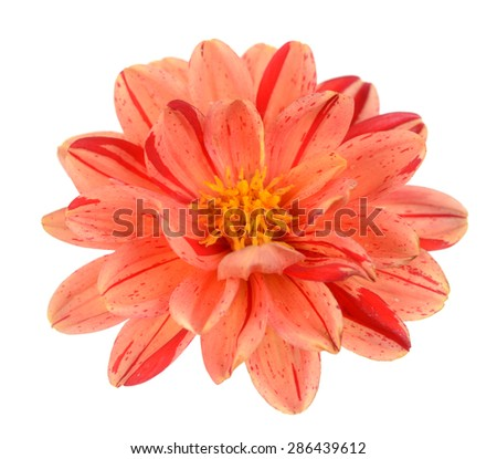 two tone red and orange dahlia flower isolated on white background - stock photo