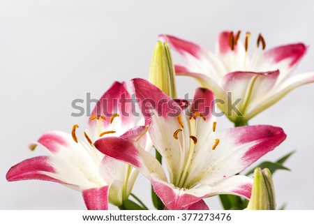 Two tone white and red asian lily flowers in front of gray background - stock photo