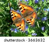 Two tortoiseshell butterflies are mating on a blue flower - stock photo