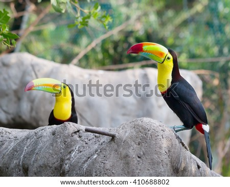 Two toucans sitting on the stone Toucans with their huge beak look like they were drawn by a child. These curious birds and-wives - some of the most noisy in the jungle. - stock photo