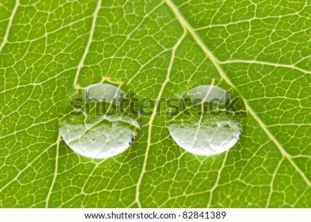 Two transparent drops on green leaf on white background, nature concept - stock photo