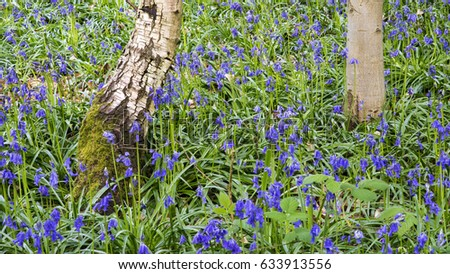 Two tree trunks emerging from a carpet of bluebells