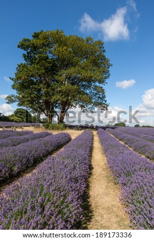 Two trees in a field of Lavender