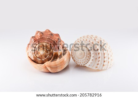 Two trumpet shells on the white background
