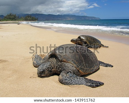 Two turtles in the sand in a beach in Hawaii - stock photo