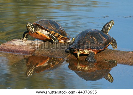 Two Turtles Sunning