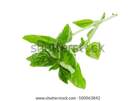Two twigs of fresh green basil on a light background