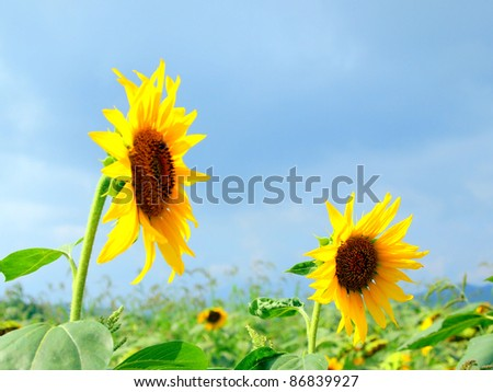 Two very beautiful Sunflowers in blue sky background