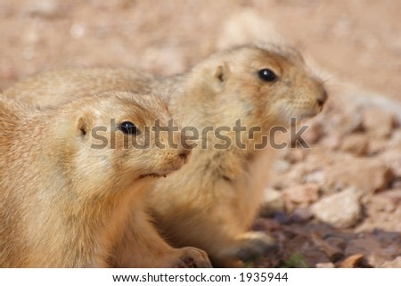 Two Very cute blak tail  Prairie Dogs.