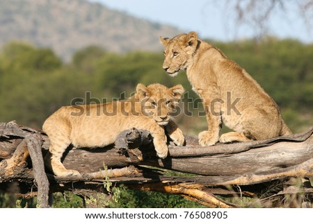 Two very cute lion cubs one a fallen tree stump