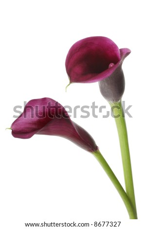 Two vibrant purple mini calla lilies, isolated on white.