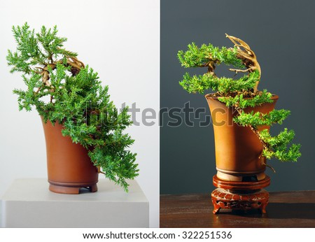 two views on juniper bonsai before and after styling - stock photo