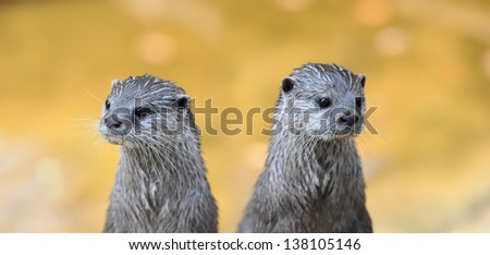 Two vigilant Asian Small-clawed Otter (Aonyx cinerea) - stock photo