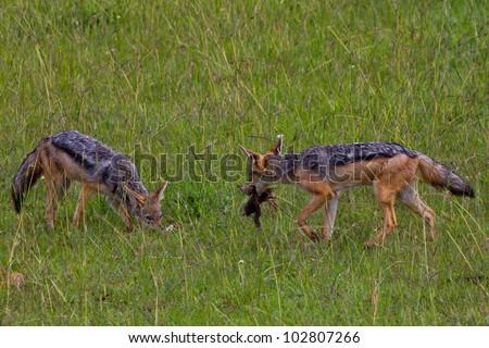 Two Vulpes chamas - stock photo