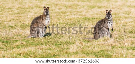Two Wallabies watching. A panoramic view of two wallabies as they look around whilst grazing in grassland.