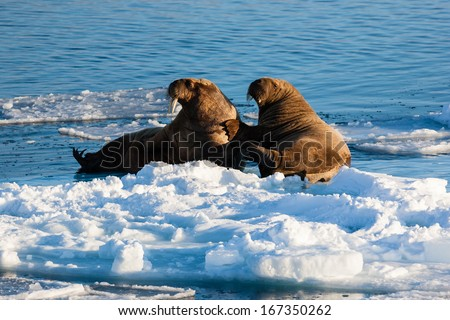 Two walrus resting on pack ice, Arctic North Pole, Svalbard.  - stock photo