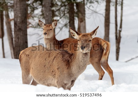 wapiti single asian girls Dnr's elk initiative opens vast tracts of public acquired as part of the wapiti woods it as the single most significant land acquisition the.