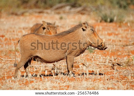 Two warthogs (Phacochoerus africanus) in natural habitat, South Africa - stock photo