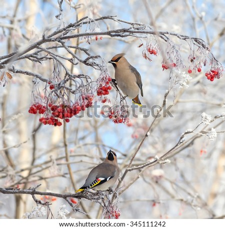 Two waxwings sitting on  branch of  mountain ash in the frost - stock photo