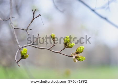 Two wedding rings and unfolding buds in early springtime on thin tree branch. - stock photo