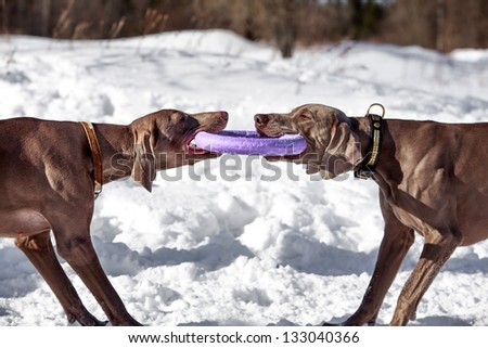 Two weimaraner dog runs and plays with toy - stock photo