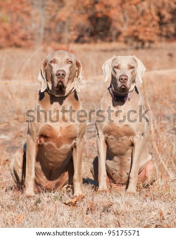Two Weimaraner dogs sitting in grass against dry brown winter background - stock photo