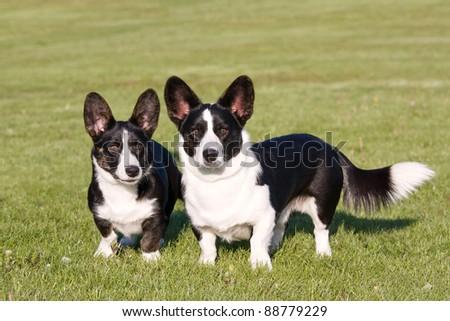 Two welsh corgi cardigan posing - stock photo