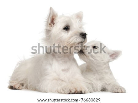 Two West Highland Terrier puppies, 4 months old and 7 weeks old, in front of white background - stock photo