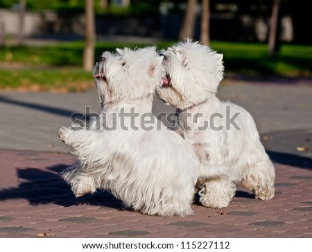 Two West Highland White Terrier playing in the park - stock photo