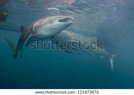 Two Whale Shark underwater eating fishes - stock photo