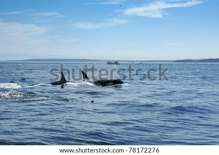 Two whales and a baby swimming in the Pacific Ocean - stock photo