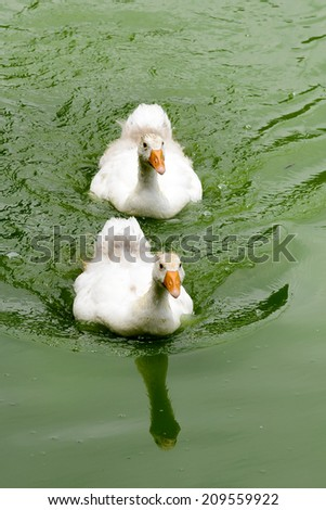 Two white baby duck swimming in the pool - stock photo