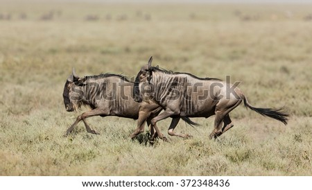 Two White Bearded Wildebeest running in Ndutu, Serengeti, Tanzania