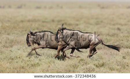 Two White Bearded Wildebeest running in Ndutu, Serengeti, Tanzania - stock photo
