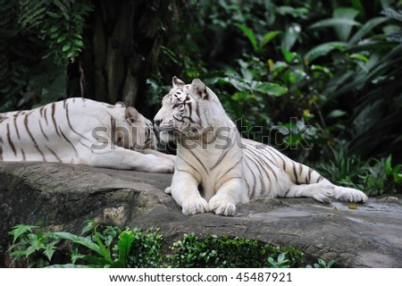 Two white bengal tigers lying - stock photo