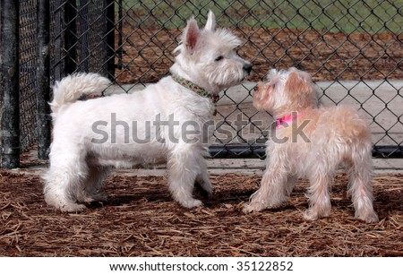 Two white dogs meeting for the first time - stock photo