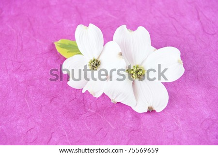 Two white Dogwood blooms on a pink textured background, horizontal with copy space, selective focus - stock photo